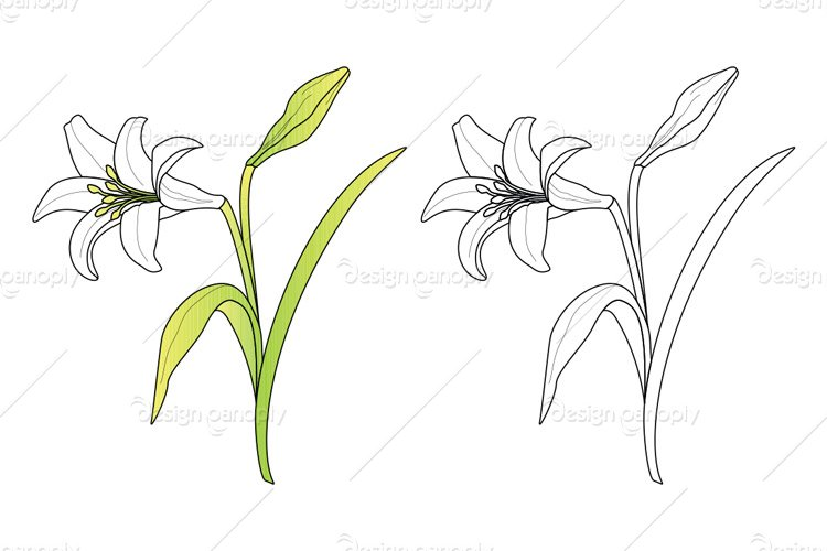 Vector Easter Lily
