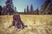 Tree Stump in a Golden Meadow