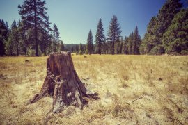 Tree Stump in a Golden Meadow